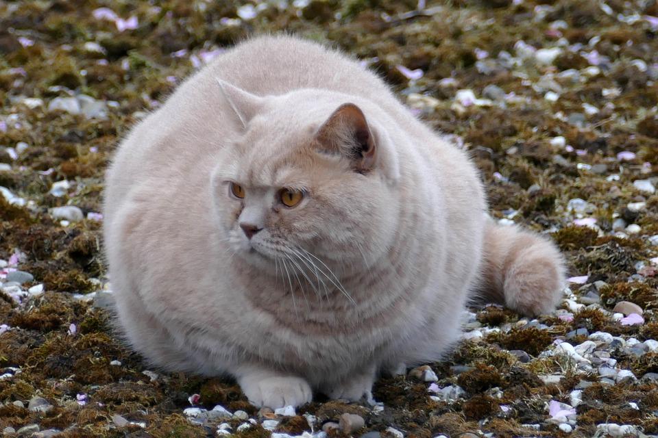 Cat, Pet, Fauna, Fat, Red