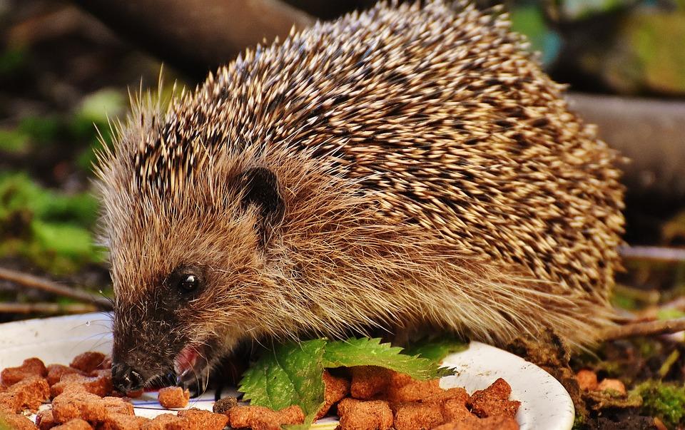 Hedgehog, Pet, Eating, Feed, Young Hedgehog