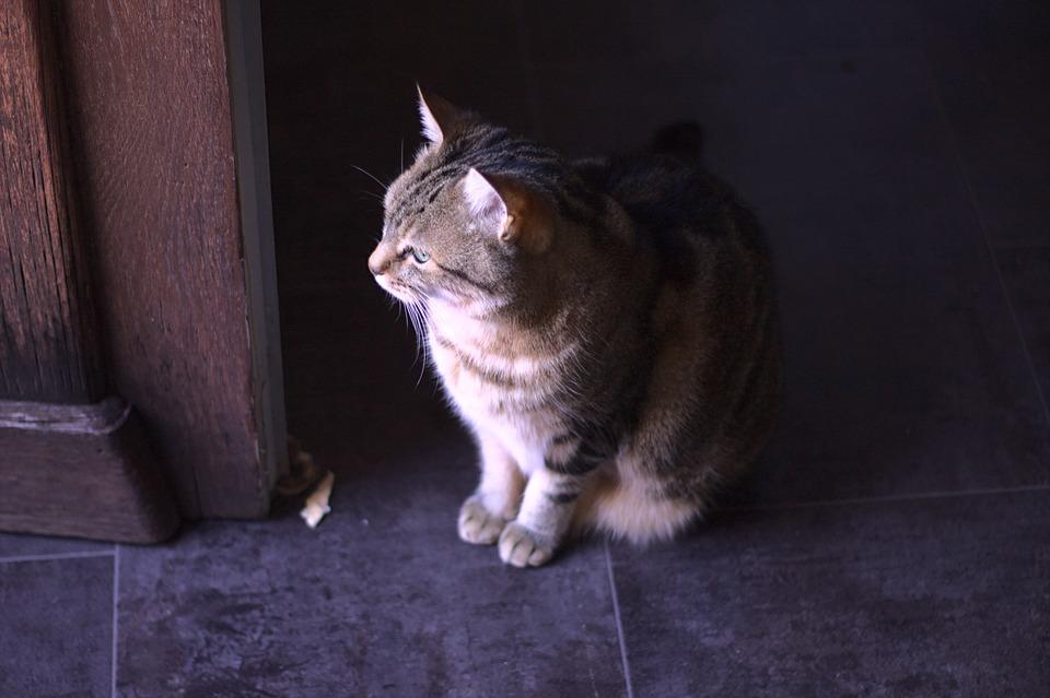 Cat, Pet, Feline, Animal, Fur, Kitty, Mammal, Domestic