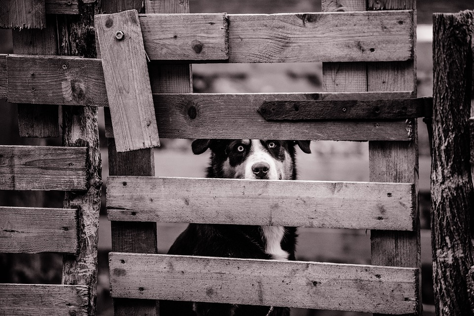 Canine, Cute, Dog, Fence, Gate, Pet, Wood, Wooden