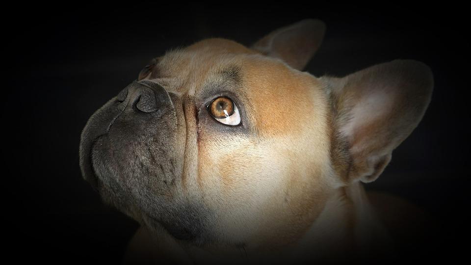French Bulldog, Dog, Pet, Animal, Domestic Dog, Canine