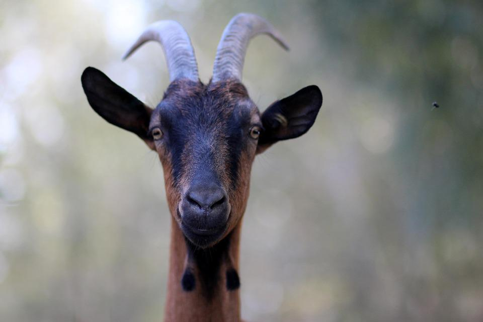Capra, Alpina, French, Black, Pet, Horns