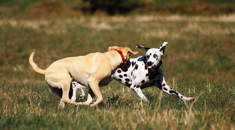 Dog, Play, Batons, Dogs Play, Great, Pet, Friend, Good