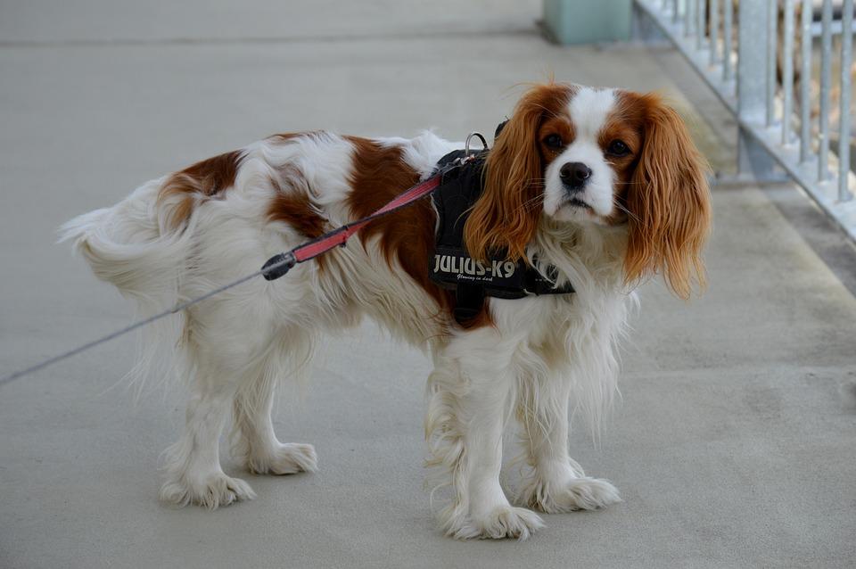 Dog, Hybrid, Funny, Pet, Animal, Fur, Brown, White