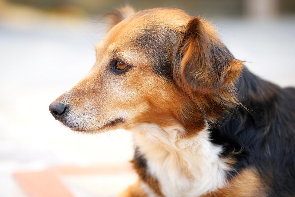 Dog, Animal, Cute, Pet, Portrait, Fur, Adorable, Sit