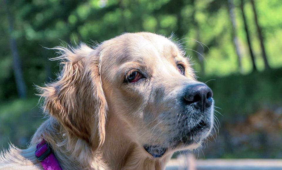 Dog, Animal, Golden Retriever, Mammal, Canine, Pet