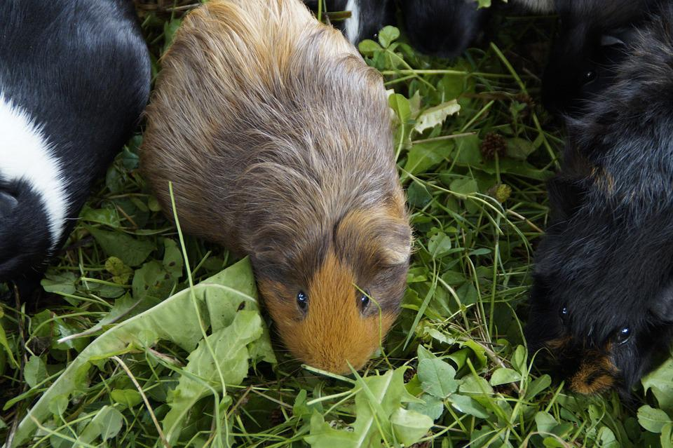 Guinea Pig, Cute, Rodent, Pet, Small Animal, Close