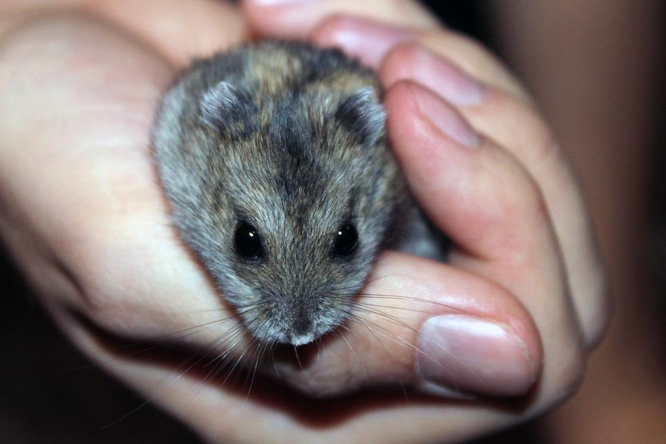 Hamster, Rodent, Pet