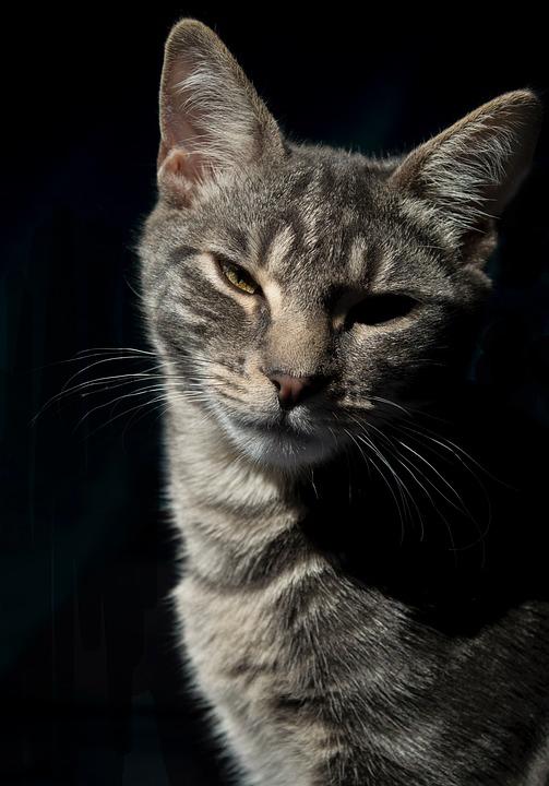 Cat, Profile, Pet, Feline, Domestic, Head, Portrait