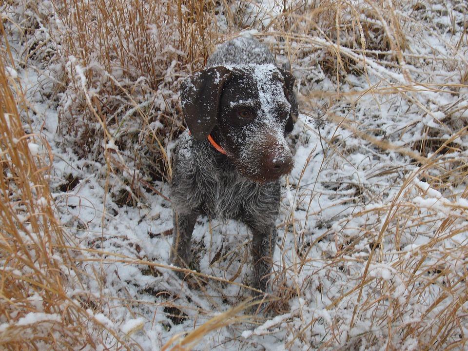 Dog, Hunting, Hunter, Pet, Hunt, Canine, Breed, Pointer