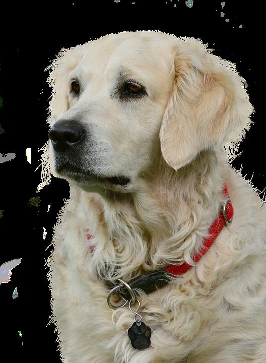 Golden Retriever, Isolated, Dog, Pet, Animal, Nature