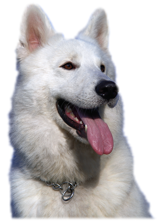 Isolated, White Shepherd Dog, Animal, Pet, Portrait