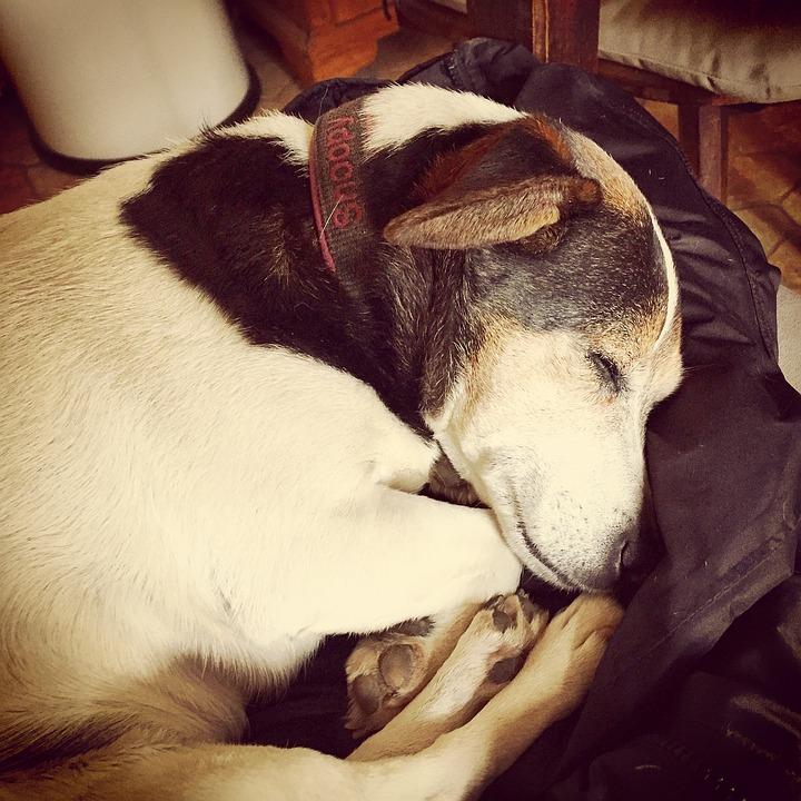 Dog, Jack Russell, Pet, Animal, Small Dog
