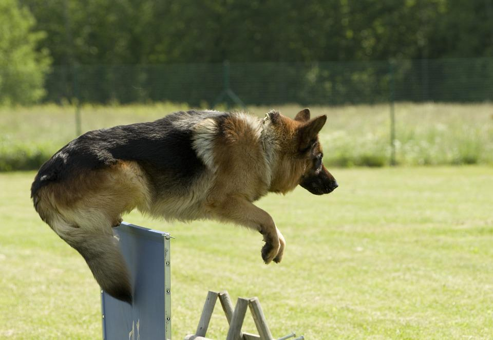 Dog, German Shepherd, Jumping, Pet