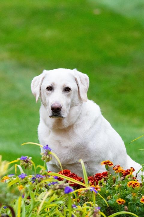 Labrador Retriever, Dog, Pet, Labrador, White Labrador