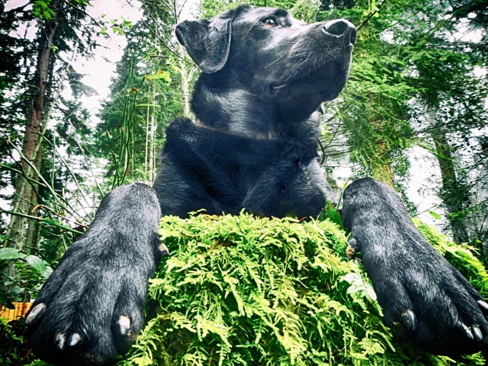 Dog, Labrador, Woods, Retriever, Pet, Friend