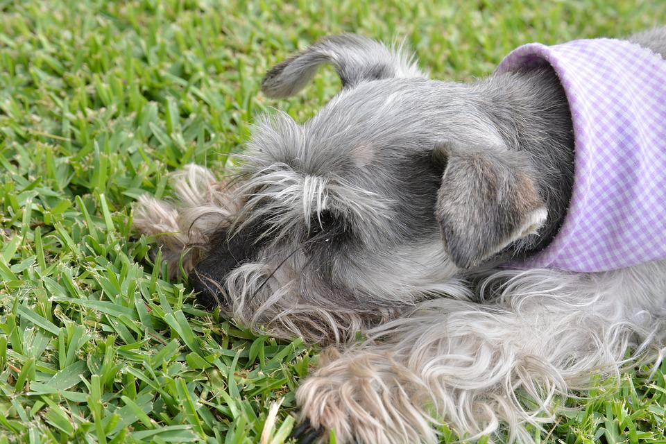 Schnauzer, Pet, Lawn, Grass, Dog, Animal, Friend