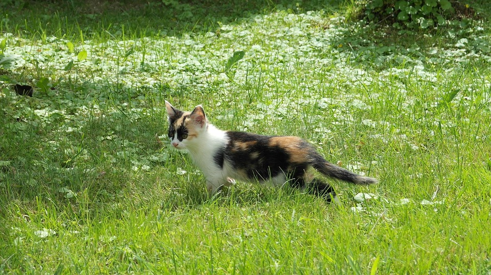 Cat, Lucky Cat, Pet, Flower Meadow, Nature, Sunbeam