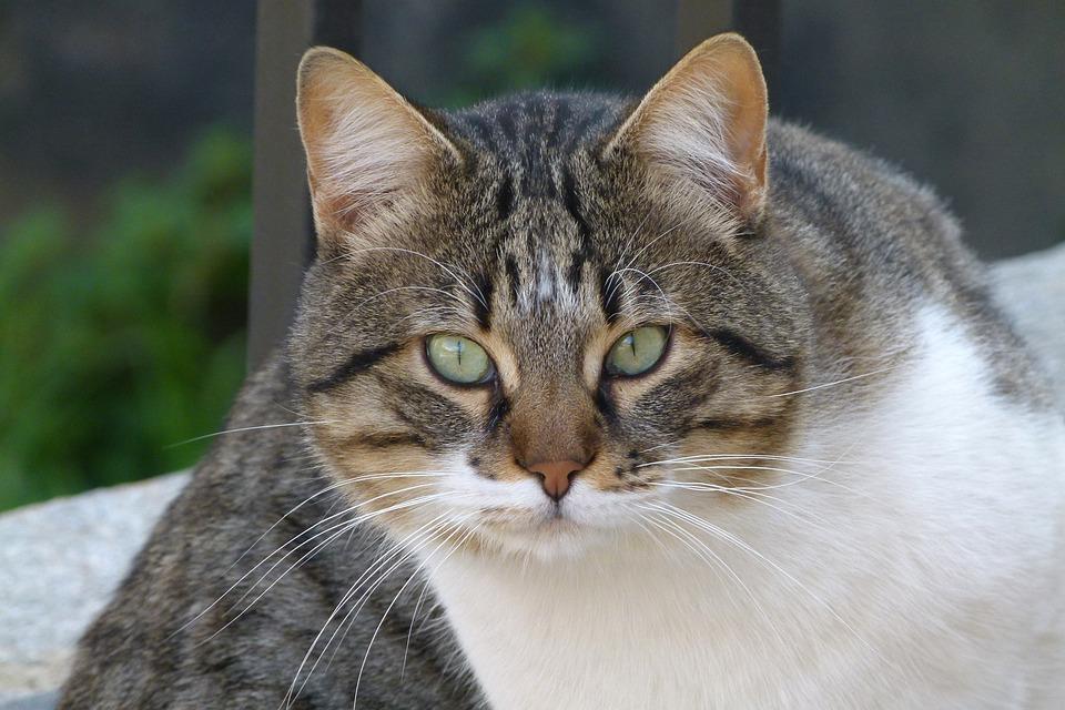 Cat, Male, Pet, Look