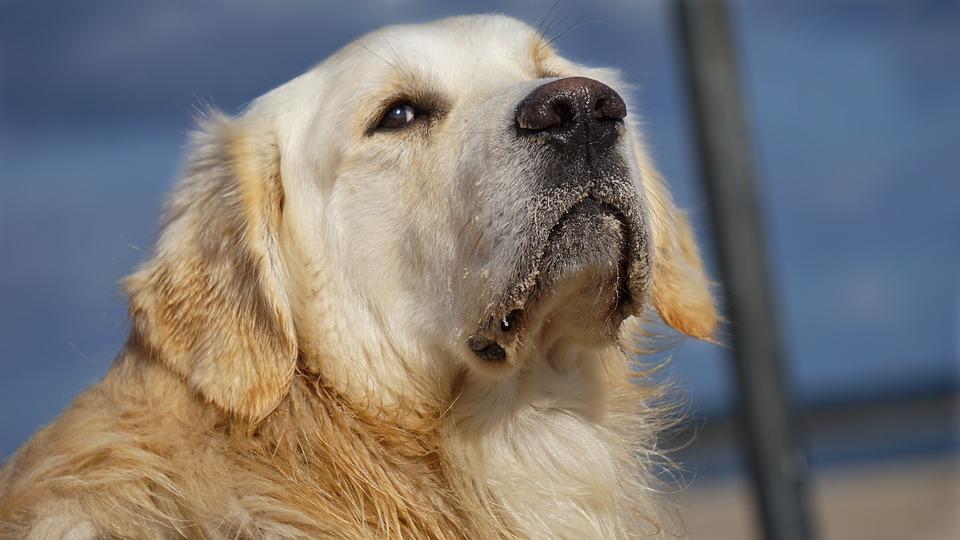 Golden Retriever, Dog, Animal, Nature, Pet