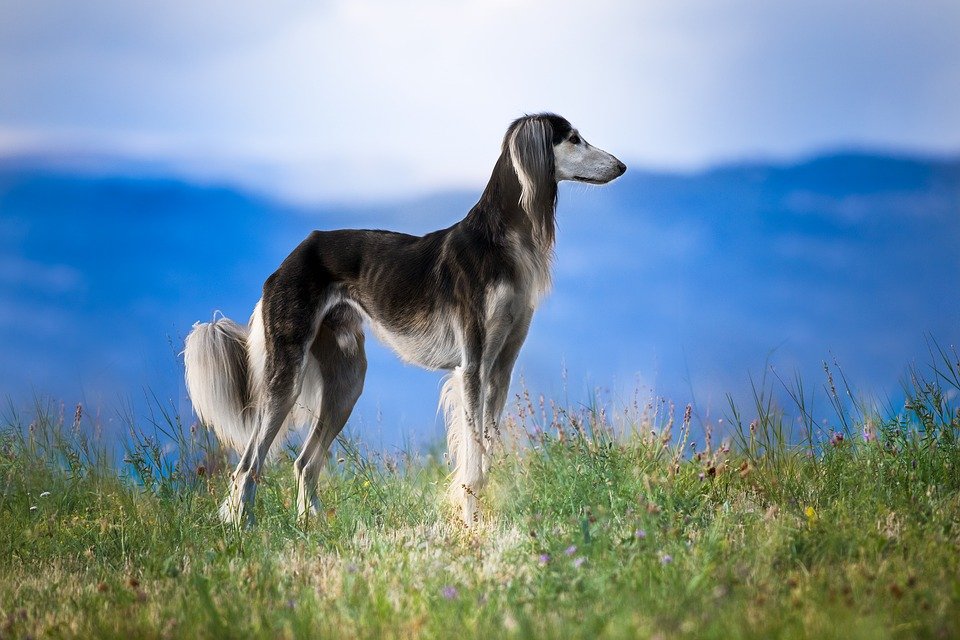 Free photo Pet Nature Dog Saluki Greyhound Pets Hairy - Max Pixel