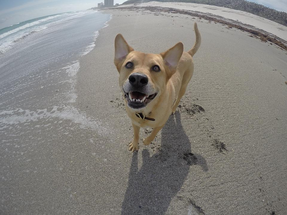 Beach, Dog, Ocean, Pet, Sea, Gopro