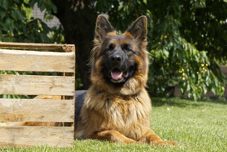 german shepherd backyard sitting