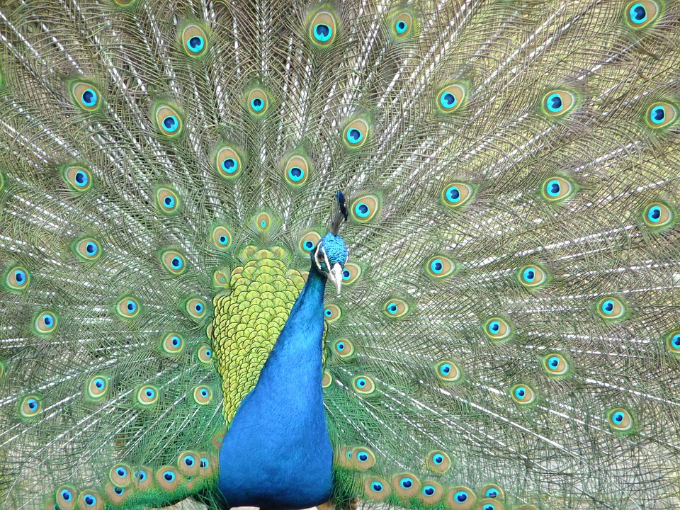 Peacock, Pet, Birds