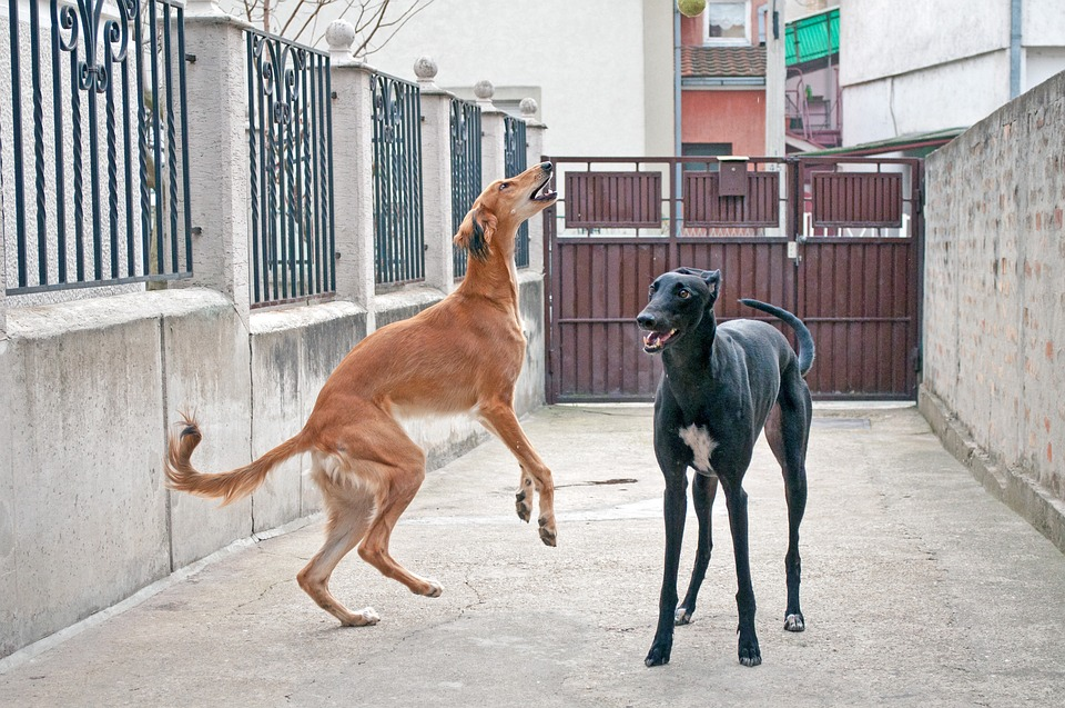 Dogs Playing, Saluki, Persian Greyhound, Greyhound, Pet