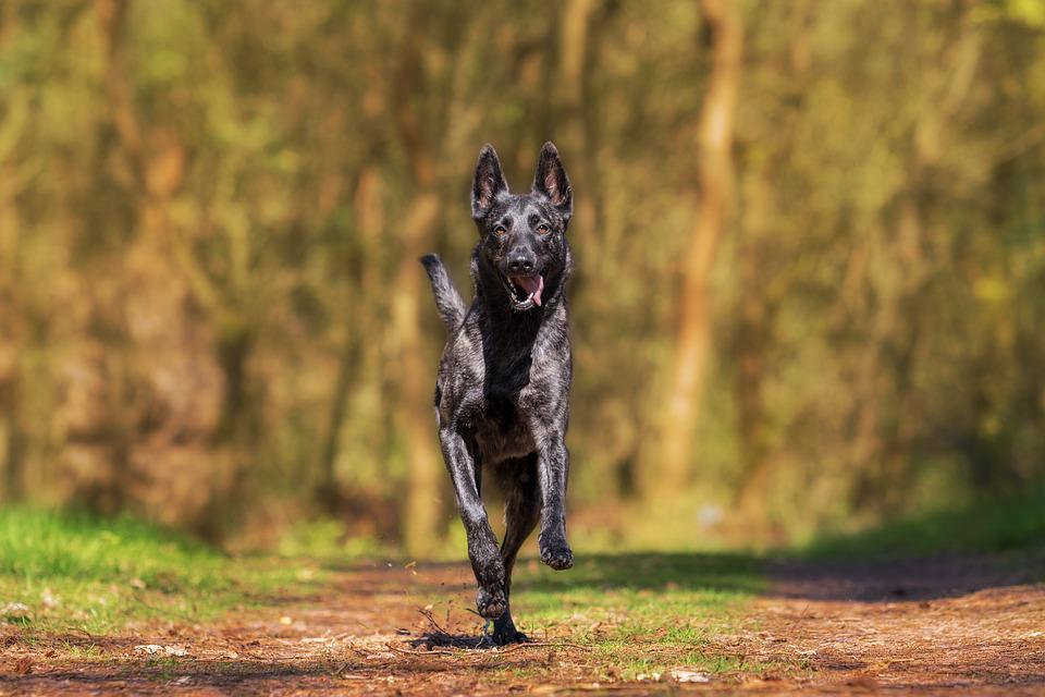 Herder, Action, Dog, Animal, Dog Plays, Pet Photography