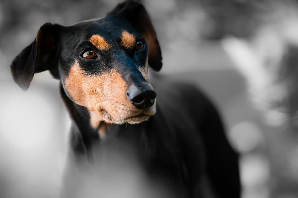 Animal, Dog, Pet, Race, Dog Snout, Pinscher, Dog Look