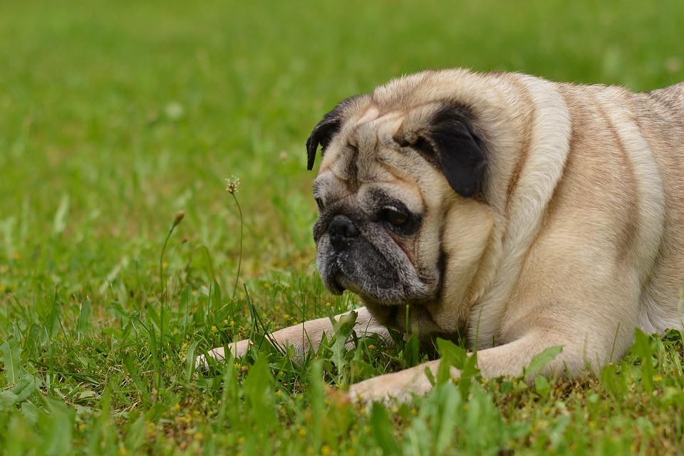 Dog, Pug, Animal, Pet, Cute, Funny, Face, Meadow