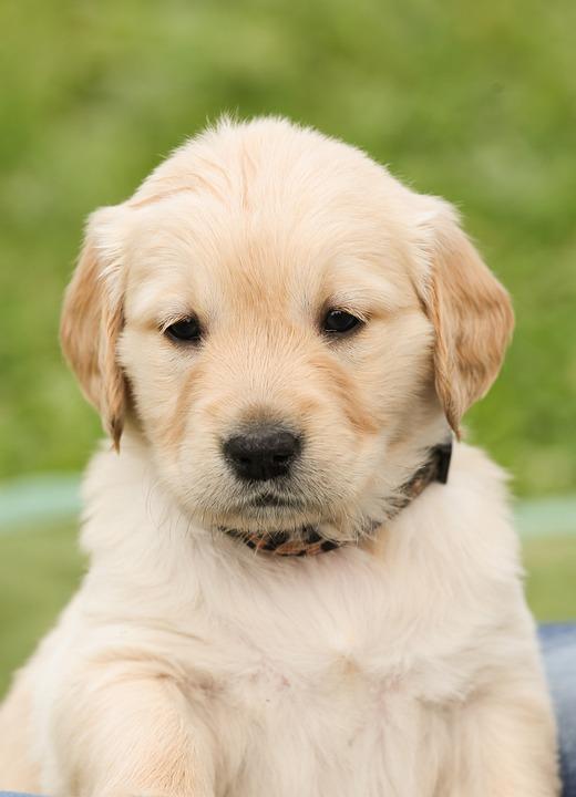 Puppy, Dog, Golden Retriever, Pet, Purebred Dog