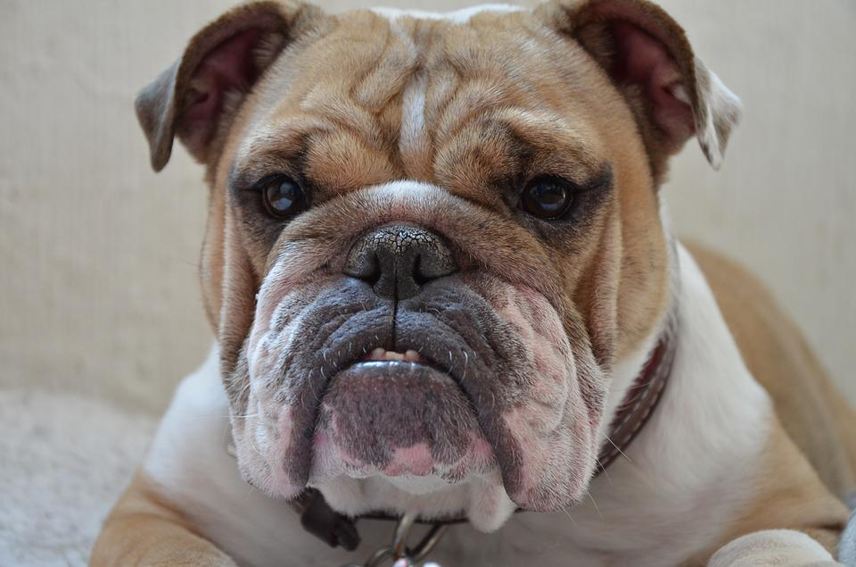 Pet Pitbull Dog Puppy Animal