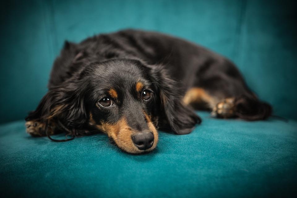 Dog, Puppy, Pet, Animal, Sofa