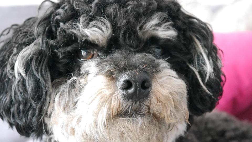 Bolonka Zwetna, Dogs, Nature, Pet, Purebred Dog, Color