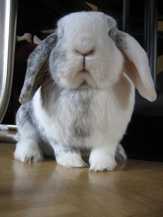 Rabbit, Black And White, Pet, Cute