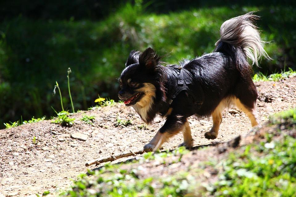 Chihuahua, Dog, Cute, Pet, Fur, Race