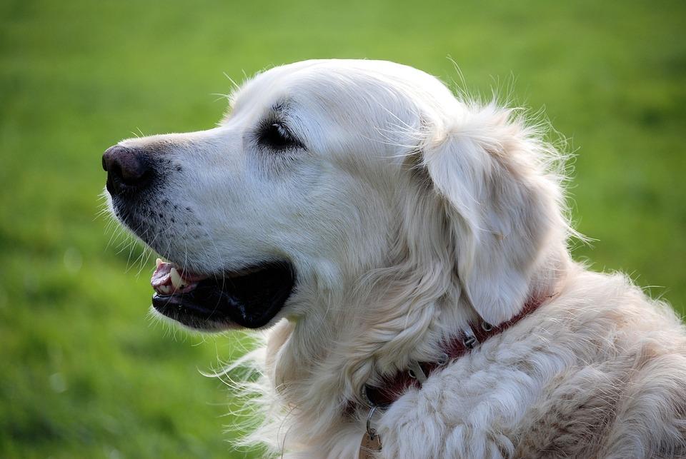 Retriever, Canine, Pet, Animal, White, Dog, Fur