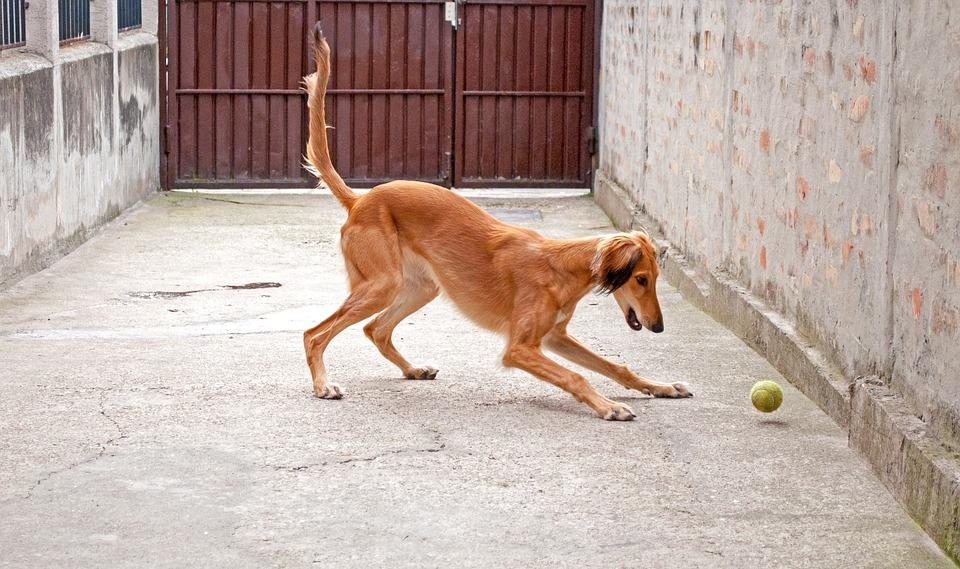 Dog Playing, Saluki, Persian Greyhound, Greyhound, Pet