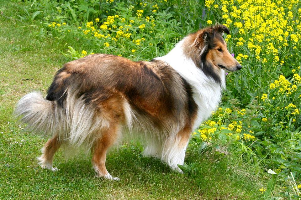 Shelty, Dog, Pet, Breed, Animal, Canine, Friend, Furry