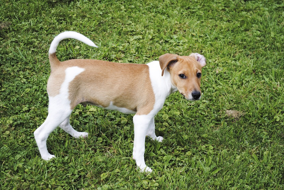 Jack Russell Terrier, Dog, Pet, Small Dog, Animal
