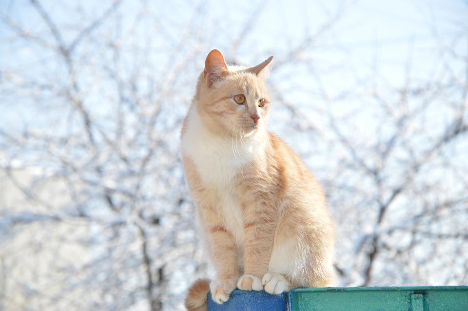 Red-headed Cat, Cat, Redhead, Pet, Stomach, Housecat