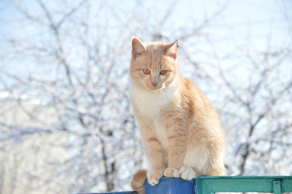 Cat, Redhead, Winter, Red-headed Cat, Pet, Stomach