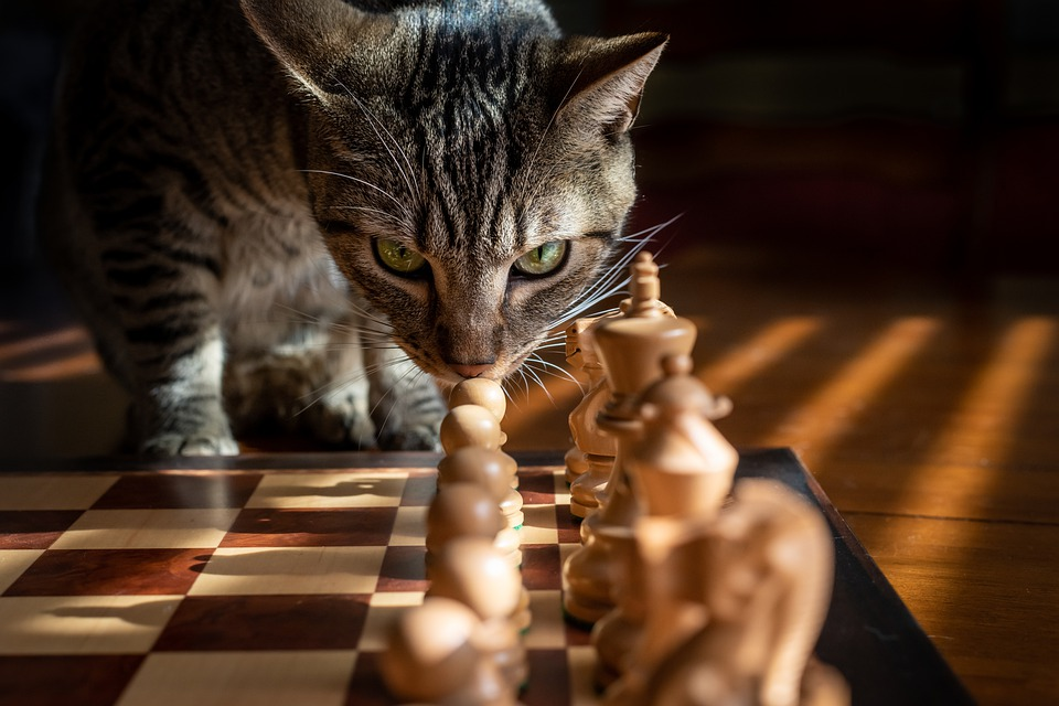 Tabby, Cat, Chess, Game, Strategy, Pet, Tabby Cat