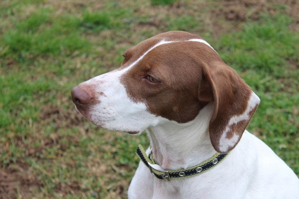 White, Brown, Pretty, Pet, Dog, Animal, Canine
