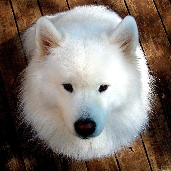 Samoyed, Dog, Happy Dogs, Pet, Animal, Puppy, White