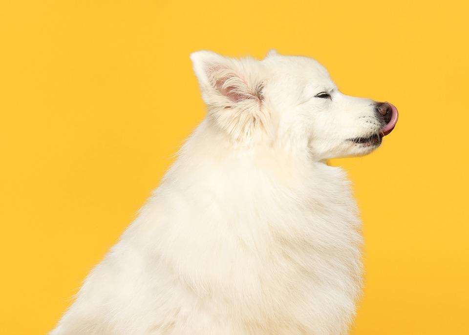 Spitz, Dog, Pet, Animal, White Dog, Domestic Dog