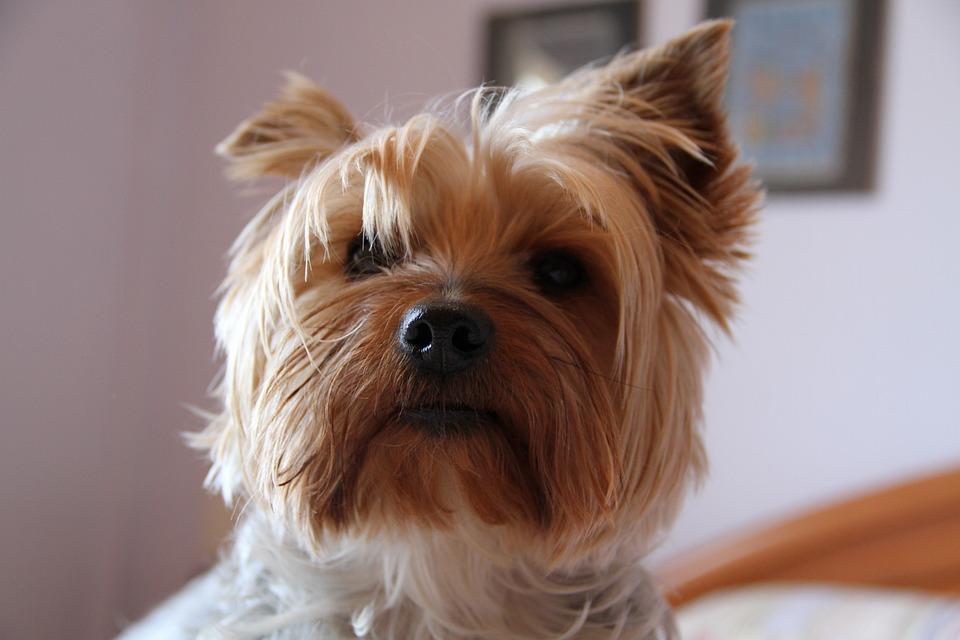 Yorkshire, Dog, Animals, Pet, Hairy, Yorskire Terrier
