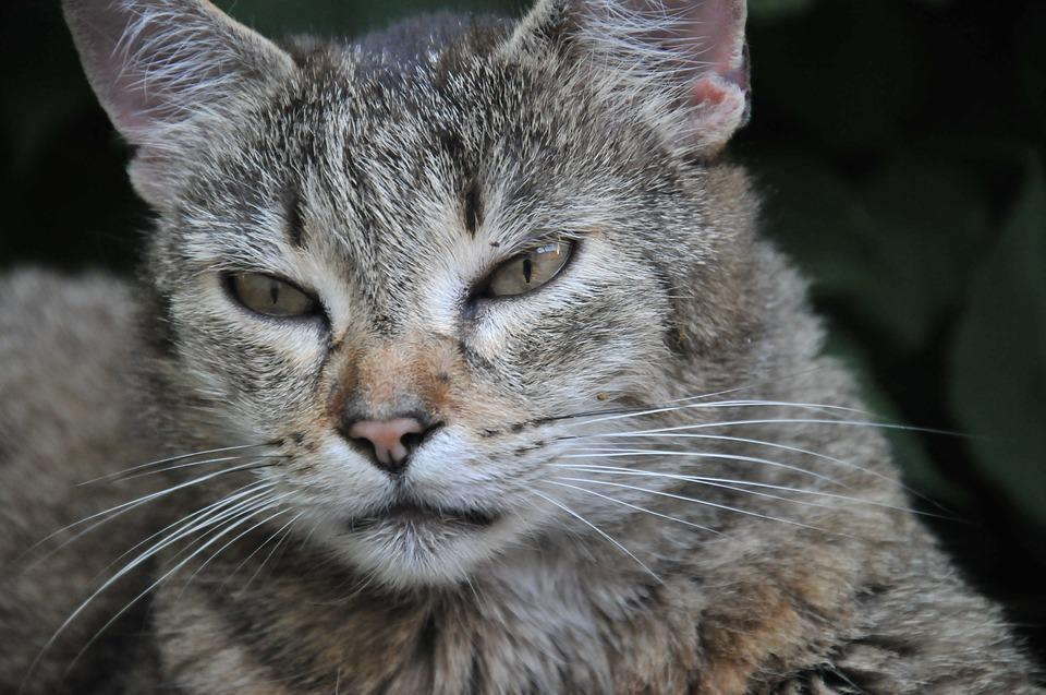 Cat, Domestic Cat, Animal, Young Cat, Pet, Cat's Eyes
